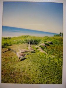 Polaroid picture. Those gooses like to chase after people. I was really scared of getting bitten by them.